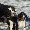 Cooper and Sopie (Powerkey) Tags: bernesemountaindog sophie dogs cooper canonef300mmf4lis