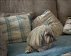 mwtw cariad.... (bevscwelsh) Tags: mwtw cariad lhasaapso dog faithful olympus1240 olympusem1