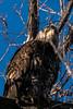 Juvy Bald Eagle (MelRoseJ) Tags: dorris california unitedstates sonyalpha sal70400g sony sonyilca77m2 a77ii alpha autofocus nature baldeagle klamathwildliferefuge