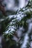 väterchen frost (Prima Wetter) Tags: frost schnee tanne winter freeze bokeh nature natur