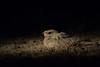 Sykes's Nightjar (Jnarin) Tags: animalthemes birdphotography canonef100400mmf4556lusmis canoneos5dmarkiii caprimulgidae caprimulgusmahrattensis colourimage focusonforeground fulllength gujarat gujarattourism horizontal kutch littlerannofkutch nature nightjar niranjvaidyanathan nopeople outdoors rannofkutch sindhnightjar sykessnightjar wildlifephotography