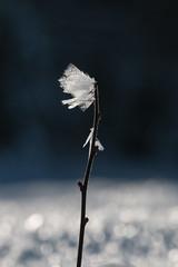 Frozen (Benjamin Ramon) Tags: fleur flower winter hiver ice glace snow neige nature frozen gelé cold blue white france canon 70d 70200