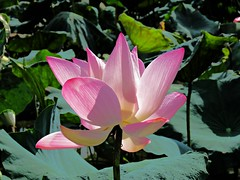 early summer lotus (oneroadlucky) Tags: nature plant flower lotus waterlily pink