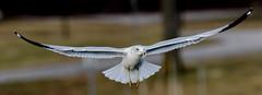 Ring Billed Gull - Posing in Mid Air (dbking2162) Tags: birds bird gulls flight nature wildlife water indiana muncie animal outside outdoor nationalgeographic