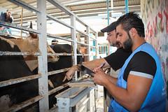 Lebanon: Qurbani Preparation 2014