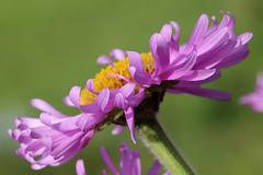 Purple Tutu (gripspix (On D-Tox!)) Tags: plant flower nature purple natur pflanze petal curled blume asteraceae violett compositae blütenblatt korbblüter gelockt 20150601