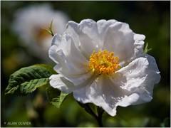 Rosier blanc ancestral