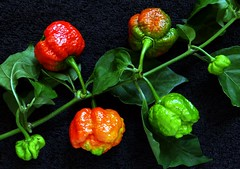 Pepper  #33: TRINIDAD MORUGA SCORPION  #3 (3Point141) Tags: usa pepper chili florida ghosh scoville guinnessbookofworldrecords 16180 juliamorton hottestpepperintheworld chilepepperinstitute 3point141 trinidadmorugascorpion onepoint618 bratboy45 1point618phi