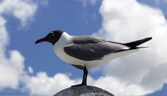 Laughing gull (SteveProsser) Tags: cruiseship bahamas nassau nassaubahamas laughinggull norwegiancruiselines easterncaribbean canoneosm norwegiangetaway