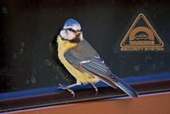 Crime in Progress (Pablo Minto) Tags: bluetit blmeis badbadbird