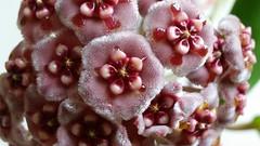 Hoya meliflua (vgonnot) Tags: pink rose star nectar hoya meliflua asclepiadiacea