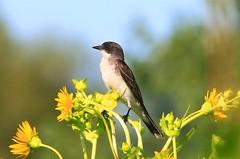 eastern kingbird near Lime Springs IA 854A6760 (lreis_naturalist) Tags: county howard iowa springs lime eastern kingbird
