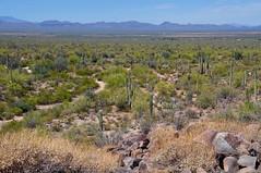 Sonoran Desert (faungg's photos) Tags: travel wild cactus plants usa nature landscape us nationalpark scenery scenic roadtrip wilderness saguaro 风景 自然 美国 自驾游 travelon5photosaday fourcornersstates 阿利桑纳州 巨人柱国家公园