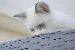Tesoro nº5: Un lindo gatito (Monica Fiuza) Tags: cat kitten gato gatito