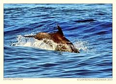 Common Dolphin (lhg_11, 2million views. Thank you!) Tags: california dolphin diving splash marinemammals dorsalfin animalsinthewild cetaceans commondolphin santabarbarachannel islandpackers whalewatchtrip uncapturedanimal