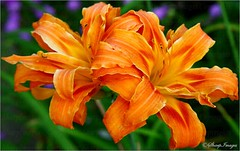 Day Lily Twins (sh10453) Tags: usa nature canon garden lily michigan lilies daylily canon5d oakpark gardenflowers