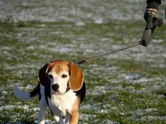 Beagle (a.pri48) Tags: beagle