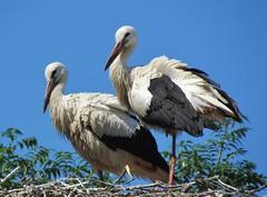 Summer storks (Elisa1880) Tags: white netherlands den nederland stork rijn aan avifauna ooievaar alphen