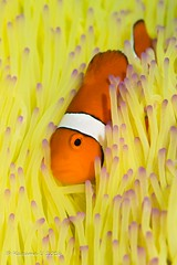 yellow and orange (Kazuma U) Tags: seaanemone clownanemonefish okinawa japan scuba diving underwater underwaterphoto olympus inon padi カクレクマノミ 沖縄 ダイビング 水中写真 イソギンチャク