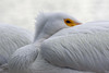 a touch of color (Dianne M.) Tags: whitepelicans nap sleep nature feathers plumage outside yellow eye lakesiide florida