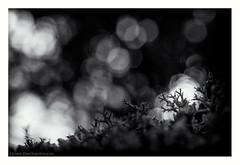 Μπριμπιλονια (s1nano) Tags: dark shadowd lowlight lowkey nature bokeh lichen cladonia dof nikond7000 micronikkorafs40mm128g bw