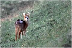 Chinese Water Deer. (vegetus aer) Tags: woodwaltonfen greatfen greatfenproject wildlifetrust bcnwildlifetrust nnr cambridgeshire wildlife chinesewaterdeer rx10m3