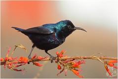 Purple Sunbird - Male (Cinnyris Asiaticus) (amit_dhongde) Tags: canon canon7d sunbird amit dhongde bird vetaltekdi