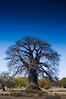 Bold, BOLDER, Boldest 2 (Alec Lux) Tags: botswana makgadikgadi baobab blue bold bolder boldest dry landscape nature saltpan savannah sky thick tree