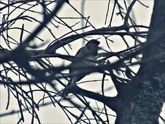 misterio... (ana•○•○) Tags: ave misterio bird byn planta arbol pajaro naturaleza olivo