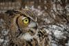 Hey, whats that over there? (Jon David Nelson) Tags: owl greathornedowl bubo bubovirginianus owls birdsofprey wildlife raptors education conservation highdesert centraloregon oregon
