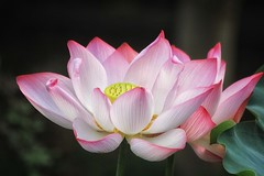 LotusThursday (cattan2011) Tags: macrophotography travelphotography travelblogger traveltuesday sanbaisan china travel landscapephotography natureperfection naturephotography nature lotusflowers lotus