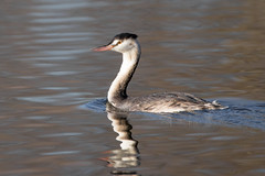 Great crested grebe (Happy snappy nature) Tags: greatcrestedgrebe bird wildlife nature water shropshire canon 6d sigma150600c