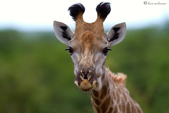 Don't destroy our world.....PLEASE! (leendert3) Tags: giraffe ngc sunrays5 coth5 npc