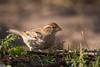 Huismus, House Sparrow (Paul van Agthoven) Tags: birds birding texel nederland holland winter zoom canon lens explore bokeh nature dof coth