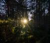 Cairngorms - Ryvoan Pass Sun Star. (grahamwilliamson1985) Tags: cairngormnationalpark sunstar sun sunset forest walking hiking winter light