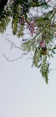Jacaranda blossom (David Wolfram) Tags: jacarandatree jacaranda tree blossom fitzroygardens