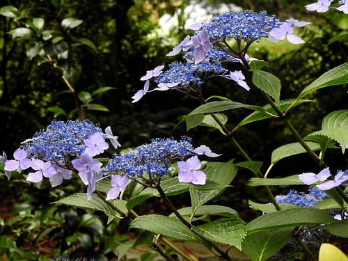 Lilacina - a lacecap