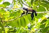 Life is Good in La Selva (jeff_a_goldberg) Tags: monkey howlermonkey winter nathab naturalhabitatadventures laselva laselvabiologicalstation costarica heredia cr