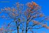 Ahuejote, Mulungu, San Salvador - On Explore Jan. 8, 17 (ssspnnn) Tags: elsalvador sansalvador planta arbol arvore flores floweringtree canoneos70d spnunes nunes snunes spereiranunes erythrinamulungu fabaceae erythrinaglauca