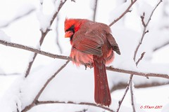 200 male red cardinal (starc283) Tags: canon canon7d cardinal starc283 bird birding birds nature naturesfinest maleredcardinal
