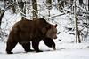 Brown bear (Cloudtail the Snow Leopard) Tags: bär winter schnee snow bear animal mammal säugetier tier predator raubtier ursus arctos brown wildpark bad mergentheim