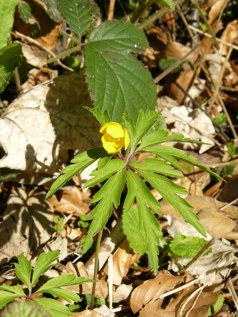 Anemone ranuculoides- Gelbes Buschwindröschen1