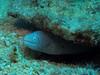 Moray eel (Lerotic) Tags: moray eel uw underwater egypt redsea scuba diving