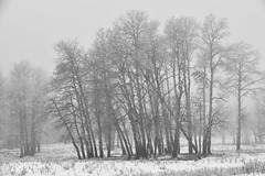 Standing the cold and the wind (drafiei1) Tags: trees tree cold wind fog mist hardrime elkisland snow nikon d810 black white