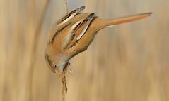 Bearded Tit  (Panurus biamicus). (Bob Eade) Tags: beardedreedling beardedtit birds reedbed reedling kent babbler