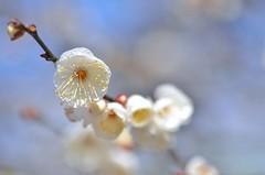 white plum blossoms (snowshoe hare*) Tags: dsc0495 plumblossoms japaneseapricot flower flowers blossoms kitanotenmangushrine kyoto 北野天満宮 白梅 梅