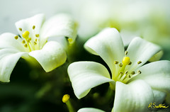 Murraya2-Edit.jpg (raysul) Tags: murraya macro flora floralart flower depthoffield orangejessamine closeup flowerphotography