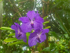 Vanda Rothschildiana (melastmohican) Tags: color exotic euanthe purple leaf beauty botany decorative plant flora violet petal orchid aroma floral rothschildiana hybrid elegant garden nature blue colorful vanda beautiful bright sanderiana coerulea decoration blossom green bloom flower tropical branch edinburgh scotland unitedkingdom gb