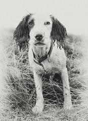 My little wet bear ..... (Missy Jussy) Tags: rupert puppy dog wetdog britishweather rain springerspaniel spaniel englishspringer pet animal canon canon50mm 50mm canon5dmarkll mono monochrome bw blackwhite blackandwhite portrait dogportrait dogwalk animalportrait littledoglaughednoiret