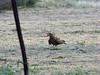 IMG_8785- Chimango (Milvago chimango) (Claudio Vázquez @ cvphotoart) Tags: argentina birds aves provinciadebuenosaires buenosairesprovince canonsx20is